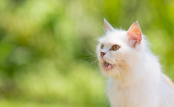 แมวสีขาว