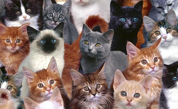 แมวหลายตัว