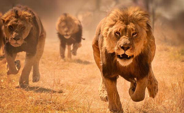 สิงโตกำลังวิ่ง