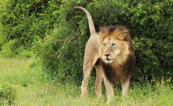 สิงโตยืน