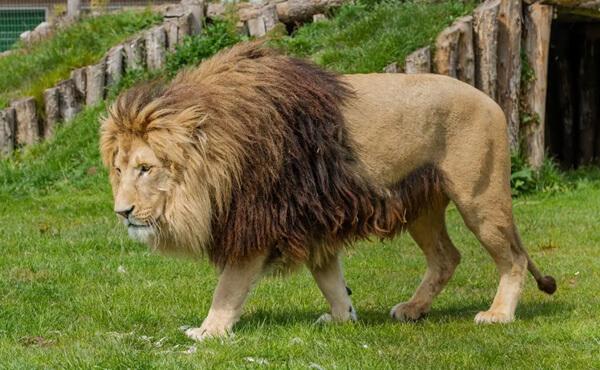 สิงโตเดินบนสนามหญ้า