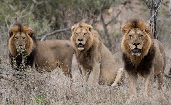 สิงโตสามตัว